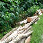 Pohon Bendo Milik Dinas Pengairan Ditebang Orang Tak Dikenal